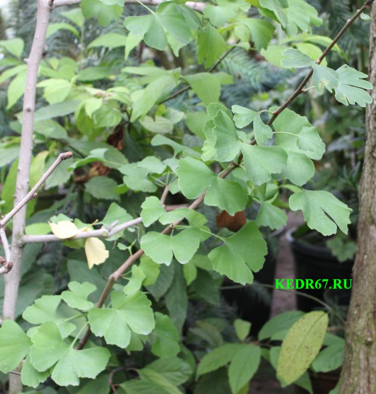 Выращивание гинкго билоба из семян 46