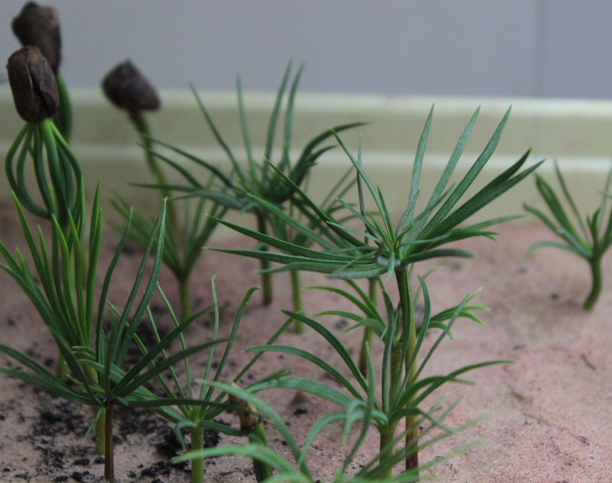 Выращивание кедра в домашних условиях 40