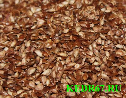 Семена Лиственницы сибирской