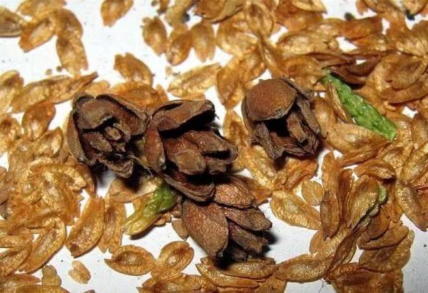 Семена хвойных