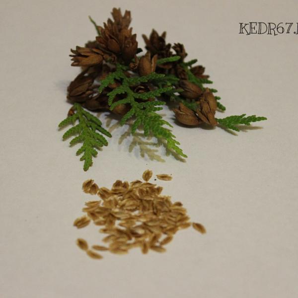 Семена Туя западная брабант