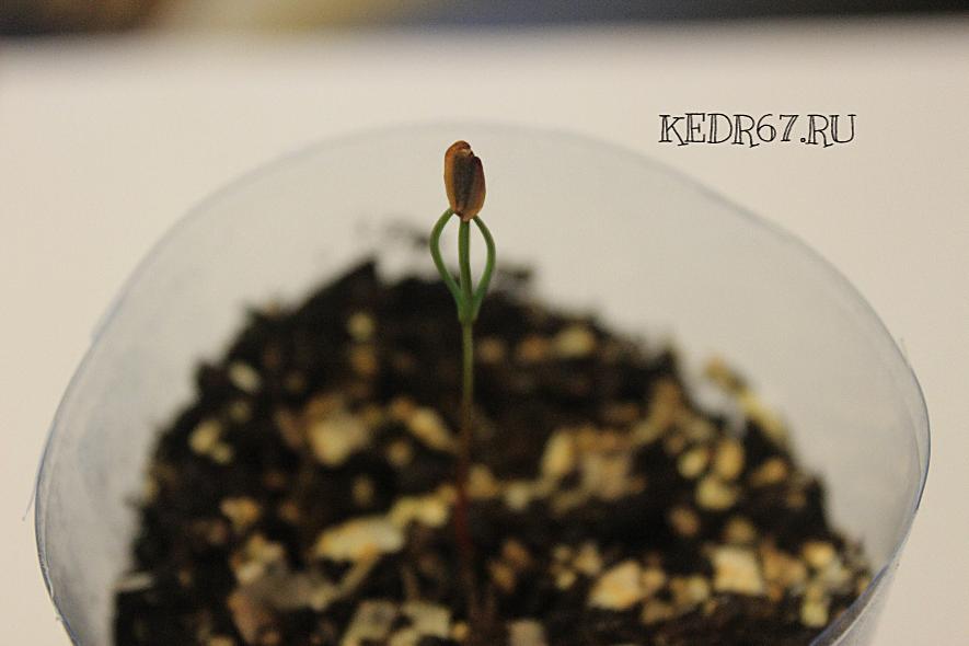 Секвойя выращивание