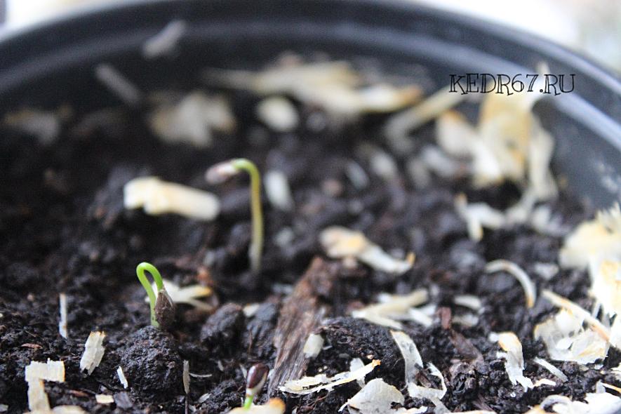 ель голубая выращивание из семян