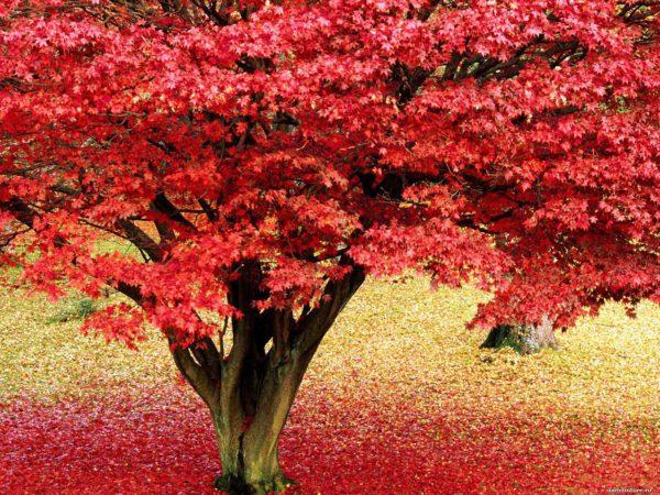 красный клен семена