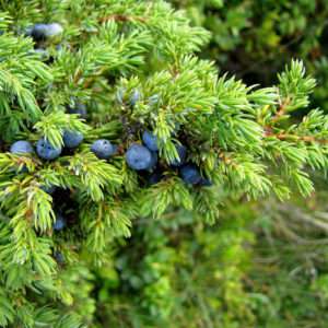 можжевельник сибирский семена