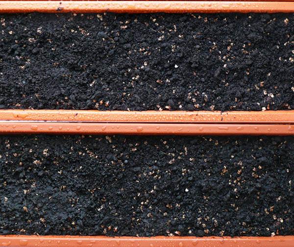 Секвойядендроны и метасеквойи из семян