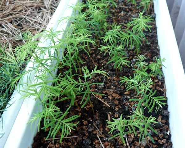 секвойя из семян