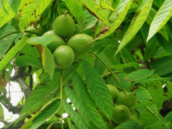 Орех манчжурский семена