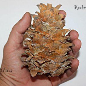 Кедр Корейский шишка