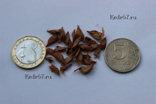 Кедр атласский семена