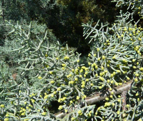 Кипарис аризонский семена купить