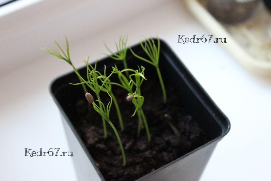 Сосна остистая выращивание