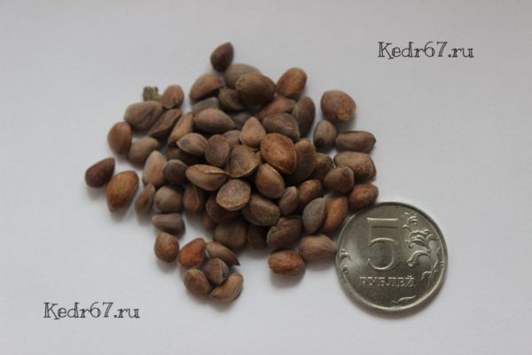 Сосна Гибкая семена