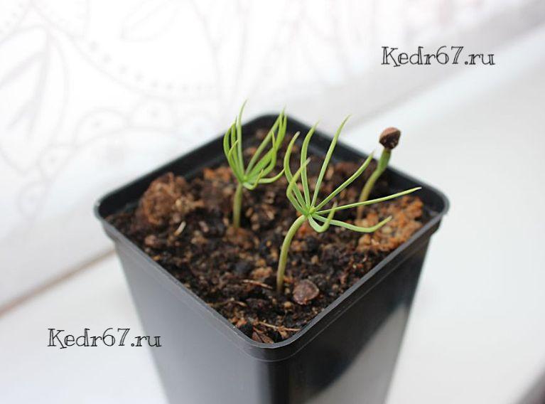 Сосна гибкая выращивание