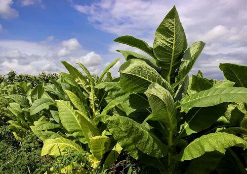 Табак семена
