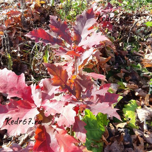 Дуб красный. Осень.