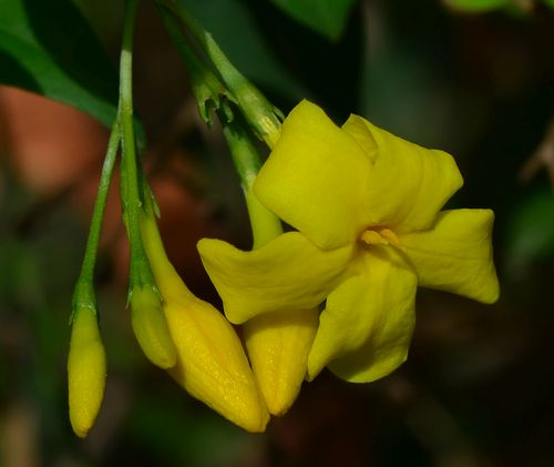 жасмин кустарниковый желтый