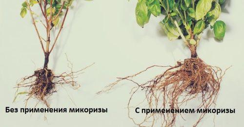 Микориза применение
